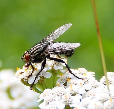 Fliege © Wolfgang Dirscherl PIXELIO www.pixelio.de